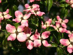 Blumen-Hartriegel 'Satomi' ® - Cornus kousa 'Satomi' ®