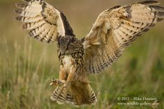 EAGLE OWL | Talons out, the final moment before the Eagle Owl takes its prey...