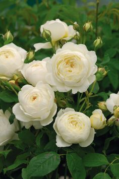 how to grow perfumed roses | Clare Austin is a low climbing rose with intense musk fragrance and pale lemon buds that open to cupped white blooms