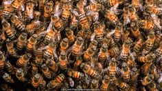 Different honeybees do different jobs in the colony (Credit:Pete Oxford/naturepl.com)