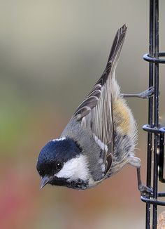 Coal Tit, Periparus ater. Paridae family. It is a widespread and common resident breeder throughout temperate to subtropical Eurasia & N Africa