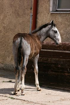 Kladruber foal ♥ - the oldest Czech horse breed & one of the worlds oldest horses. Dating back to 1560, it was founded before the Lippizaner & considered a carriage horse of royalty.