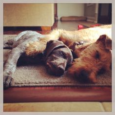 The two best breeds to own - German Shorthair Pointer & Irish Terrier. bhedman