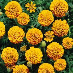 Boy Orange Marigold Flowers