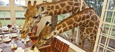 Fare colazione la mattina insieme alle giraffe? Yes, we can!