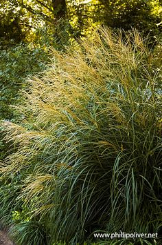 Dirt Therapy's advice on when to cut back ornamental grasses