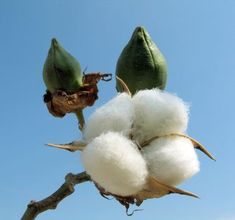 The cotton plant is a tropical and subtropical shrub. Description from treenwaysilks.com. I searched for this on bing.com/images