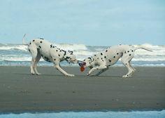 #dalmatian   #dalmatians   #pet   #dalmatians_of_instagram   #pets    #dalmatiansofinstagram   #fun   #dalmatians_of_instagram  #  #dalmata   #dalmatianspotlight   #dog   #dogs   #dogsofinstgram   #beachtime   #beachdog   #beachlife   #dogstagram   #petstagram   #myfriends   #friends   #picoftheday   #dogoftheday   #happydogs   #playtime   #houndandlife   #doggy   #sendadogphoto   #dogscorner