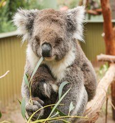Adopt a Koala Animals Beautiful, Cute Animals, Panda Bear, Koala Bears, Quiet Girl, Wildlife Park, Wombat, Brown Bear, Pet Birds