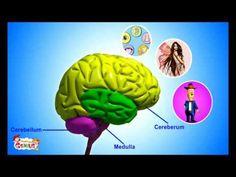Il Sistema nervoso - Materiali per la scuola.wmv - YouTube