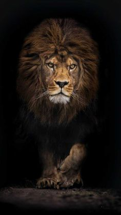 Modern home decor hd prints oil painting canvas wall art animal lion king - Tiere Tier Wallpaper, Animal Wallpaper, Lion Wallpaper Iphone, Iphone Backgrounds, Iphone Wallpapers, Wallpaper Backgrounds, Leopard Wallpaper, Retina Wallpaper, Wallpaper Lockscreen