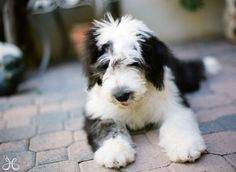 old english sheepdog photo | Spoiler-Free Community for Wincest and J2. - New: It's a Long Way ...