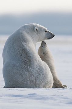 Cute polar bear moment