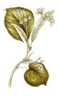 Operagastro > Ricette coi fiori: Liquore di tiglio.