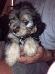 Yorkie Mix Puppies is an adoptable Yorkshire Terrier Yorkie Dog in Farmersville, TX. These 4 little boys came from a very high kill shelter. Their mother is in our rescue also and she is a sweet littl...