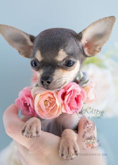 Puppy For Sale #280 Teacup #chihuahua Puppy
