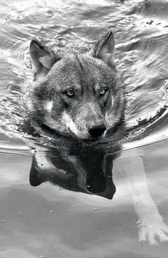 Loup prenant un bain
