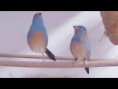 L'uccellino che balla il tip tap per amore - National Geographic