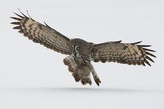 lapinpöllö - Great Grey Owl