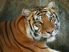 Gorgeous tiger...represents India