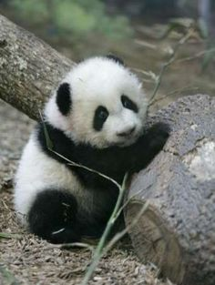 type of pandas - baby panda images and pictures, the cutest animal in the world Cute Baby Animals, Animals And Pets, Funny Animals, Wild Animals, Panda Love, Cute Panda, Types Of Pandas, Photo Panda, Panda Mignon