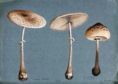 Two parasol mushrooms (Lepiota procera) and a shaggy parasol mushroom (Lepiota rhacodes). Watercolour, 1898.