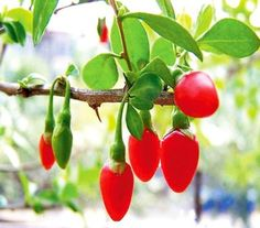 The Goji fruit is a berry found originally in the Himalayas. It is a small red berries that grows on small bushes. Goji's were used thousands of years ago by Chinese herbalists for improving energy, sexual health and vitality. Asian Names, Fruit Bushes, Fruit Trees, Goji, Berry Juice, Apple Roses, Diabetes Remedies, Exotic Fruit, Gardens