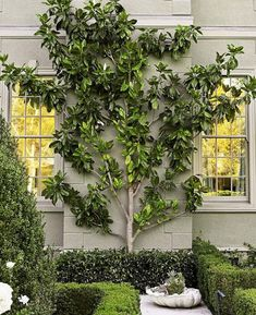 magnolia espalier...  what a gorgeous decor to hide the back of a fireplace....