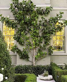 magnolia espalier...