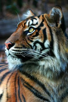 10bullets: Tiger side by scoot75