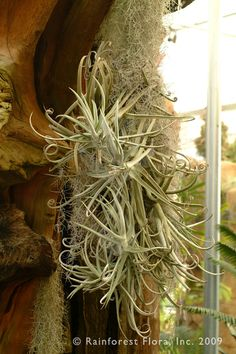 http://www.rainforestflora.com/store/images/10103/full/. Tilandsia durati