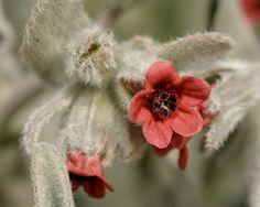 Pardoglossum cheirifolium