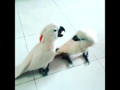 My new cockatoos