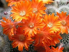 Rebutia muscula (Orange Snowball) is a small solitary or mound-forming cactus spreading out up to 6 inches cm). It grows quite close. Desert Plants, Cactus Flower, Cacti And Succulents, Snowball, Orange Flowers, Ale, 6 Inches, Green, English