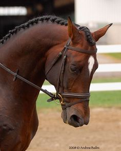 Gorgeous Thoroughbred- Equine Dressage