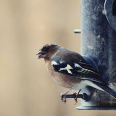 Little bird on the feeder outside the kitchen window this morning #birds #bird #rspb guessing its a chaffinch? #chaffinch
