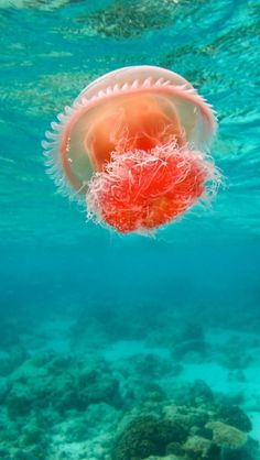 Jellyfish on the bottom of the sea Underwater Creatures, Ocean Creatures, Underwater Animals, Foto Poster, Water Life, All Nature, Sea And Ocean, Sea World, Underwater Photography