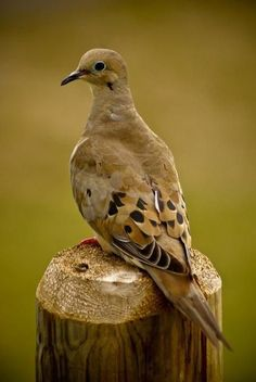 "Mourning Dove - we have one that sits on our roof, right next to the chimney.  Every morning it serenades us with ""who-WHO-oo"" straight into the living room."