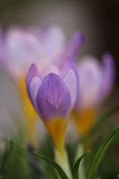 Crocus -- most welcome sign of spring!