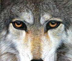 Looking into the Eyes of the Wolf