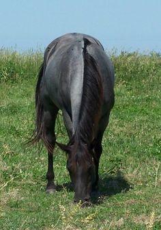 I remember this horse. Andalusian Horse, Friesian Horse, Arabian Horses, Most Beautiful Animals, Beautiful Horses, Reptiles, American Quarter Horse, Quarter Horses, Horse Age