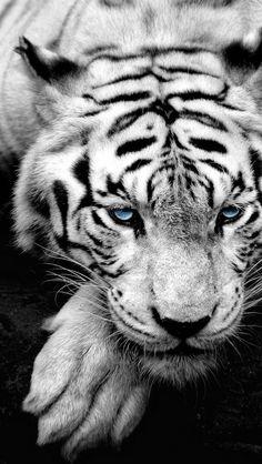 siberian tiger iphone wallpaper hd - VixImage