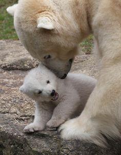 Hellabrunn Zoo presentación cachorros de oso polar