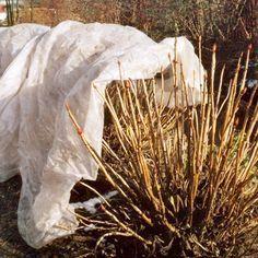 hydrangea care winter