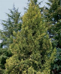 Fast-Growing Trees for Impatient Gardeners - FineGardening japanese cedar cryptomeria japonica Cedar Trees, Evergreen Trees, Trees And Shrubs, Cypress Trees, Fast Growing Shade Trees, Fast Growing Evergreens, Privacy Landscaping, Country Landscaping, Back Gardens