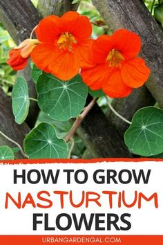 Nasturtium flower growing guide - Nasturtiums are easy to grow annual flowers that are also edible. Here's how to grow Nasturtiums in your flower garden. #flowers #annuals #flowergarden