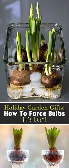 Holiday Garden Gifts: See How To Force Bulbs, It's Easy! #FlowerGardening