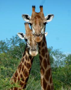 Giraffes at Karongwe Game Reserve, South Africa