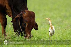 Cattleegret Egret