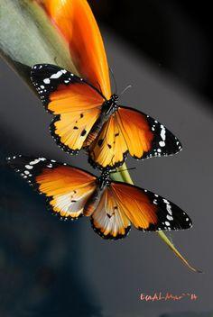 Danaus chrysippus butterflies